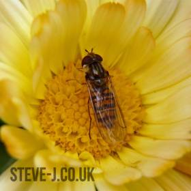 Close up of a hover fly on a yellow flower