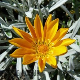 Orange Yellow Flower on Black & White